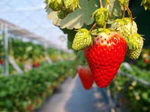 イチゴの季節の写真素材 [FYI00266715]