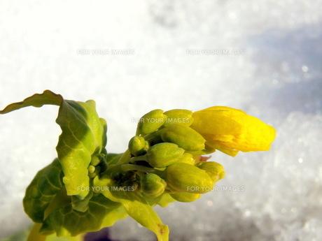 雪のあとの菜の花の素材 [FYI00266730]