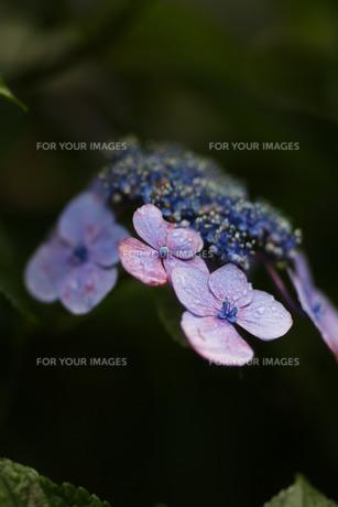 紫陽花20の写真素材 [FYI00266935]