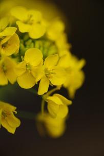 菜の花2の写真素材 [FYI00267049]