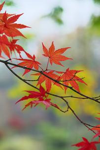 盛の紅葉の写真素材 [FYI00268207]