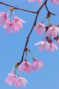 桜・プリンセスの写真素材 [FYI00268231]