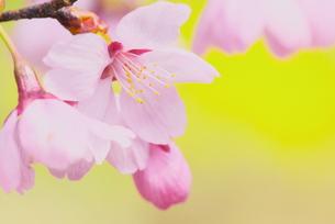 桜・プリンセス 2の写真素材 [FYI00268232]