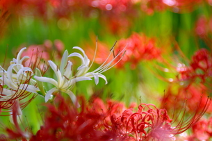 白い彼岸花の写真素材 [FYI00268233]