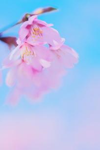 桜プリンセスの写真素材 [FYI00268270]