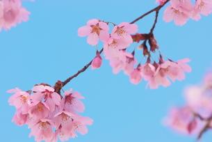 桜プリンセスの写真素材 [FYI00268273]