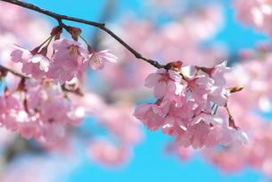 桜プリンセスの写真素材 [FYI00268276]