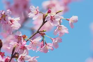 桜プリンセスの写真素材 [FYI00268281]