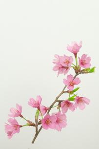 桜プリンセスの写真素材 [FYI00268283]