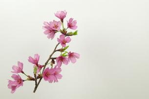 桜プリンセスの写真素材 [FYI00268286]
