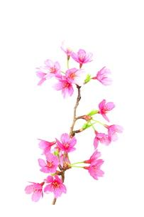桜の写真素材 [FYI00268287]