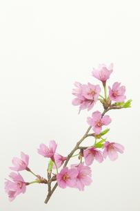 桜プリンセスの写真素材 [FYI00268288]