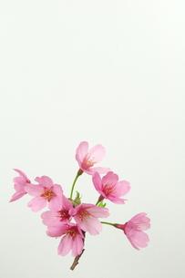 桜プリンセスの写真素材 [FYI00268290]
