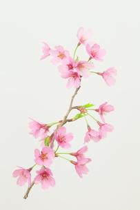 桜プリンセスの写真素材 [FYI00268293]