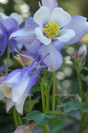 オダマキの花の素材 [FYI00268314]