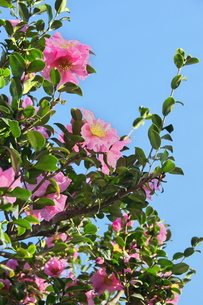 山茶花の花の写真素材 [FYI00268358]
