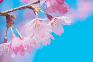 桜プリンセスの写真素材 [FYI00268369]