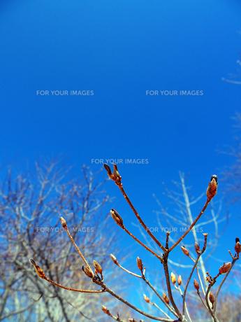 ハンノキの木の芽と青空の写真素材 [FYI00268876]