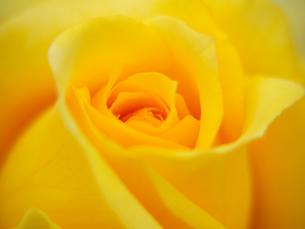 黄色の薔薇の花心の写真素材 [FYI00268893]