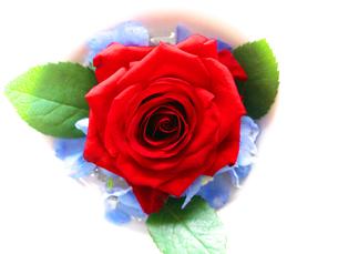 真紅の薔薇の写真素材 [FYI00268896]