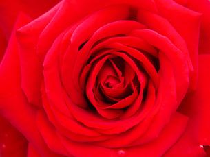 真っ赤な薔薇の写真素材 [FYI00268898]