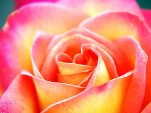 薔薇のアップの写真素材 [FYI00268907]