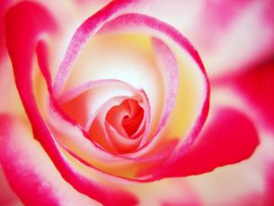 赤と白の薔薇の花心の写真素材 [FYI00268911]