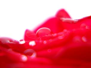 赤い薔薇の花弁の水滴の写真素材 [FYI00268912]