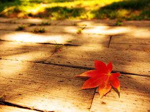木漏れ日の中の楓の写真素材 [FYI00268950]