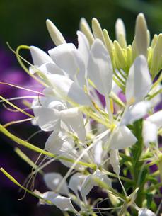白いクレメオの写真素材 [FYI00268952]