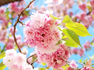 塩竃桜の写真素材 [FYI00268956]