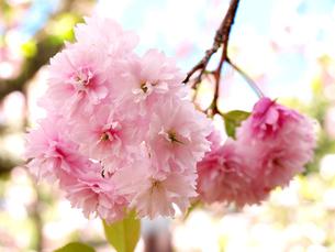 塩釜桜の写真素材 [FYI00268958]