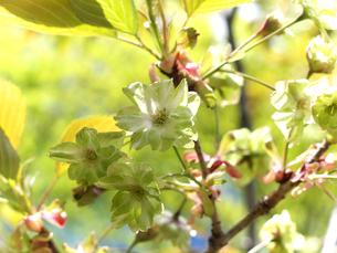 鬱金桜の写真素材 [FYI00268965]