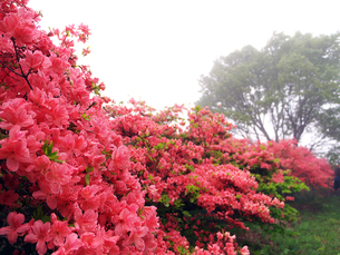 雨中のツツジの写真素材 [FYI00268975]