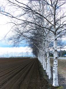畑の白樺並木の写真素材 [FYI00268977]
