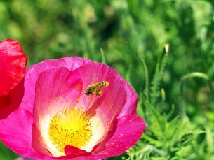 蜜蜂とポピーの写真素材 [FYI00268993]