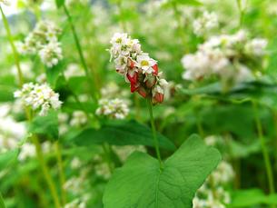 蕎麦の花と実の写真素材 [FYI00269069]