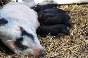 授乳中の豚の写真素材 [FYI00269245]