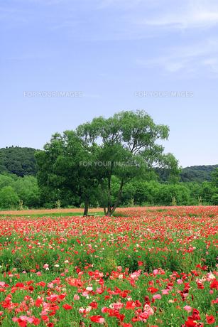 ポピー畑と大木の素材 [FYI00269489]