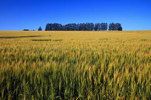 マイルセブンの丘の手前の麦畑の写真素材 [FYI00269524]