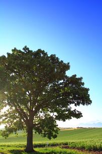 セブンスターの木の写真素材 [FYI00269544]