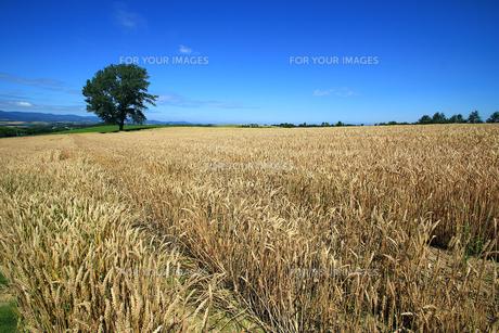 麦畑と哲学の木の素材 [FYI00269559]