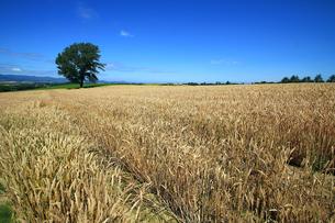 麦畑と哲学の木の写真素材 [FYI00269559]