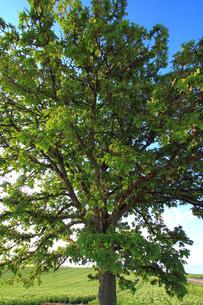 セブンスターの木の写真素材 [FYI00269567]
