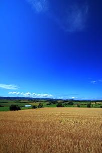 三愛の丘展望公園側の麦畑の写真素材 [FYI00269572]