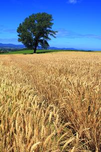 哲学の木と麦畑の写真素材 [FYI00269574]