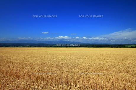 麦畑の素材 [FYI00269598]