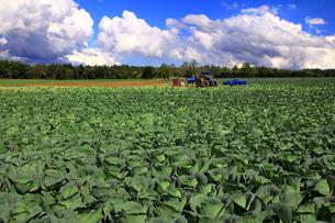 キャベツ畑とトラクターの写真素材 [FYI00269634]