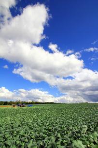 キャベツ畑の写真素材 [FYI00269658]