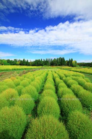 緑色のコキア畑の素材 [FYI00269674]